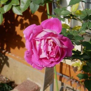 今日のバラ庭とつるバラの誘引計画