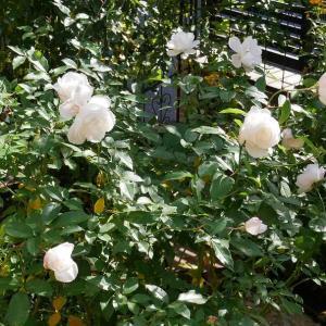 秋晴れのバラ庭とぼかし肥料作り その1