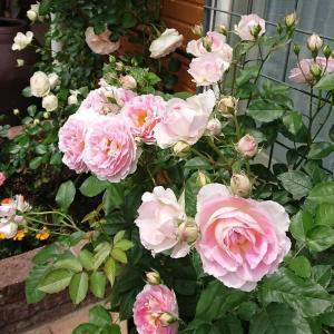鉢バラの植え替え リベンジ