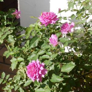 シエラザードの開花、そして小庭は少しずつバラ色に