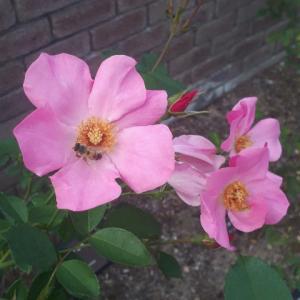 栗名月の秋薔薇を愛でた1日