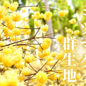 【ミツマタ群生地】360度黄色の世界!秘境に咲くミツマタは4月中旬まで見頃《綾部市》