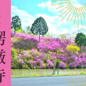 【楞厳寺】4月に見頃を迎えるミツバツツジ。真っピンクのトンネルは人気の映えスポット!《綾部市》