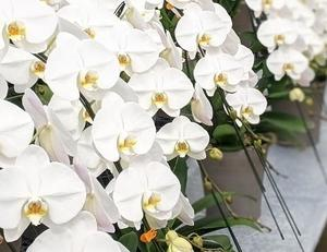 高品質な胡蝶蘭の専門店【ランノハナドットコム(クマサキ洋ラン農園)】