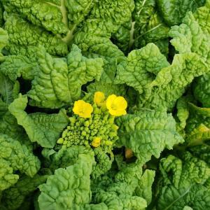 ロンの菜の花農業①