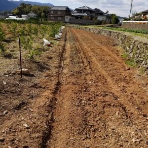 ロンの菜の花農業②