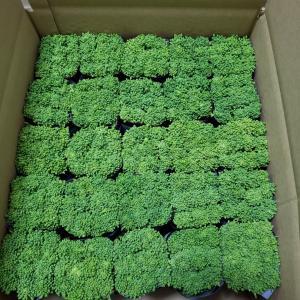 ロンの菜の花農業⑦