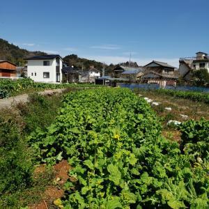 ロンの菜の花農業⑧