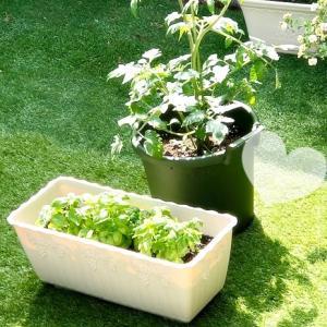 家庭菜園♡ ミニトマトちゃん