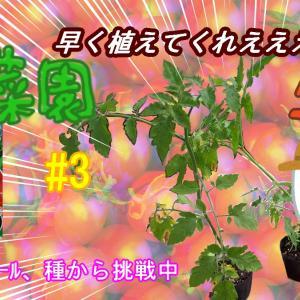 【日々のこと】【ゆる菜園】シュガリーテール定植へ。ほったらかしにも、程があるの巻
