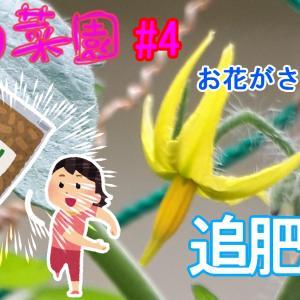 【日々のこと】【ゆる菜園】お花が咲きました!~シュガリーテール育ってます!~追肥編