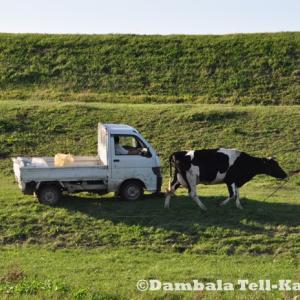 首都圏版・珍日本紀行!東京の間近で水浴びを楽しむ牛の群れ その3