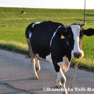 首都圏版・珍日本紀行!東京の間近で水浴びを楽しむ牛の群れ その4