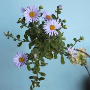 達磨菊の花