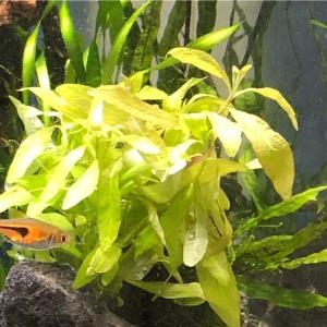 初心者向けの水草その1…ハイグロフィラポリスペルマ