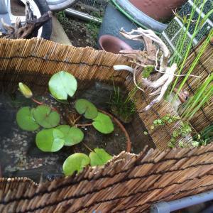 メダカビオトープにオススメ植物その①