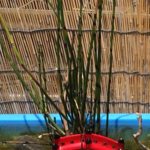 メダカビオトープにオススメ植物その④…ヒメトクサ
