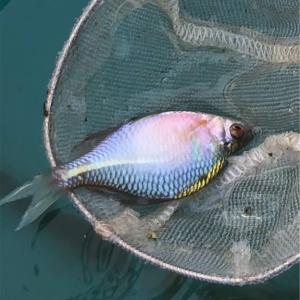 タナゴを飼う🐟バラタナゴ🌹…飼育から繁殖…釣りまで楽しめる🎣