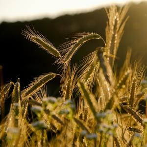 いまさら読書『ライ麦畑でつかまえて』