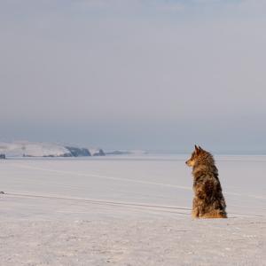 冬のロシア・シベリア鉄道→犬ぞり体験してみた!参加方法等【バイカル湖/イルクーツクから1時間】