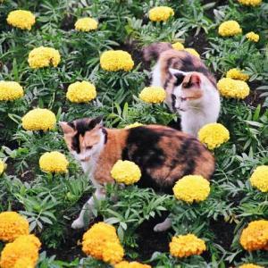 三毛猫姉妹 Calico sisters