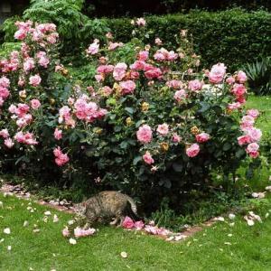 雨に打たれた薔薇 Roses beaten by the rain