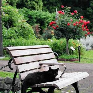 赤い薔薇 (オリンピアード) Rosa Olympiad