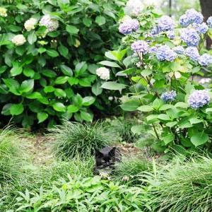 紫陽花 Hydrangea (タキシードソックス猫)