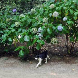 さよなら紫陽花 Goodbye hydrangea
