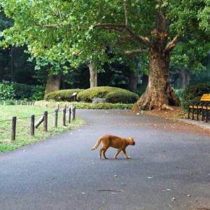 茶トラ猫が道を横切る Red tabby crossing the path