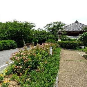 紫陽花が見ごろの浄土寺