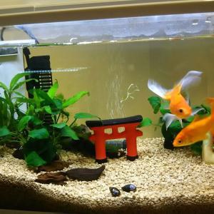 金魚水槽の昔から今😎
