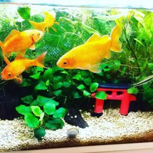 金魚水槽の水換えと掃除✨レイアウト変更♪