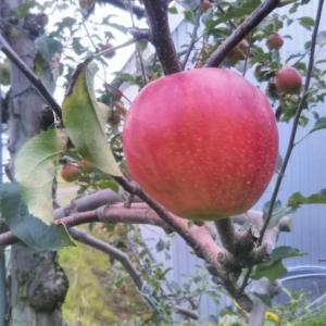 壮瞥おすすめ!いよいよ、いこい農園リンゴも色付いてきました)^o^(