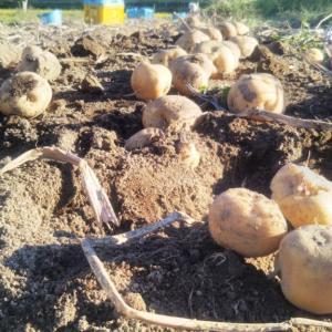 壮瞥おすすめ!暑さで溶けそうになりながらも無事に芋とかぼちゃの収穫終了(^^)/