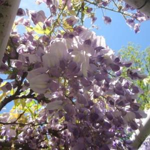 名城公園・藤の花がそろそろ満開