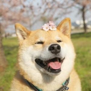 【感謝】柴犬さんに私のブログ記事を紹介して頂きました!!!