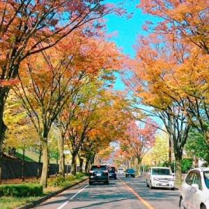 【お便り写メール】京都・洛西のいちょう並木。