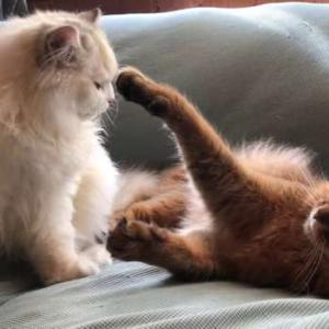 スコティッシュフォールドはこんな猫