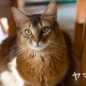 ソマリってこんな猫