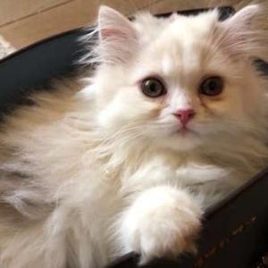 子猫の成長は早い!バッグの膨らみで10日前と比較