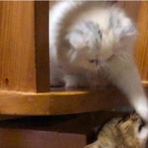 子猫のスコちゃんの猫パンチが可愛すぎる