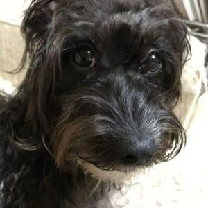モジャモジャのウチの犬は、ワイヤーヘアード・ダックスかもしれない