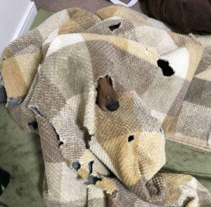 暖房をつけても、毛布にもぐるのは、ミニチュアダックスの習性?