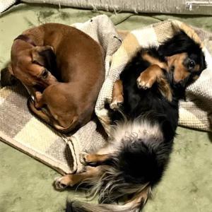 犬がくさい匂いを身体になすりつけるのは、なぜか