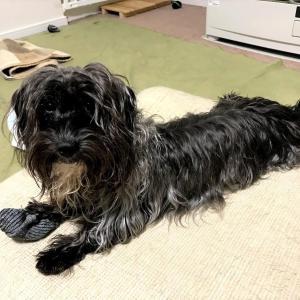 犬との暮らしで、無垢フローリングをやめた理由