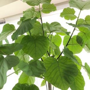 【観葉植物】大型ウンベラータを迎えレチューザに植え替えてみた