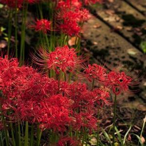 【知っている?】秋分の日を象徴する曼珠沙華には毒がある?