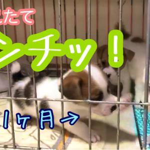 子犬のパンチ動画&ごはん決定!