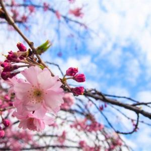 桜の花は美しいだけでない!花びらには糖化を防ぐ美容効果が!